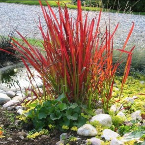 imperata-cylindrica-red-baron