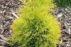 Thuja occidentalis Rheingold